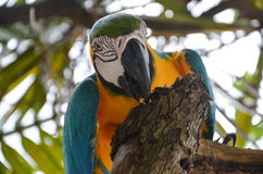 Macao parrot Royalty Free Stock Image