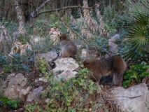 Makaque-Affe auf einem Gibraltar-Felsen Stockfoto