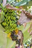 Makaque conquista el árbol de plátano en un jardín Imagen de archivo libre de regalías