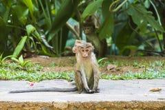 Makaques-Affe bitten um Lebensmittel Lizenzfreies Stockfoto