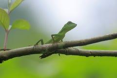Make Chameleon Bronchocela jubata in the tropical forests of Indonesia. Make Chameleon Bronchocela jubata in the tropical forests of Aceh Province, Indonesia stock photography