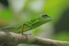 Make Chameleon Bronchocela jubata in the tropical forests of Indonesia. Make Chameleon Bronchocela jubata in the tropical forests of Aceh Province, Indonesia stock photo