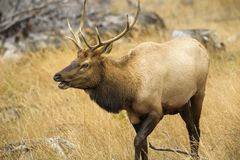 Make elk calling and looking for family on Yellowstone National Park Royalty Free Stock Image