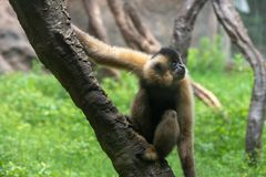 Make a face-Gibbon-Hylobatidae. Gibbon: a generic term for primates and a family of 4 genera and 16 species. It is named because of its long arm. There are Stock Photo