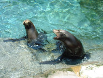 Make Me Lunch. Life Forms - Sea Lion Stock Photography