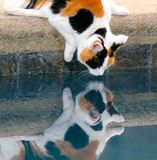 Make mine a double. Calico cat takes a drink from a pool and gives off a beautiful reflection Stock Image