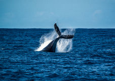 Make a Splash. Whale tail, humpback whale, kauai, hawaii stock images