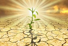 Make their way in a hostile environment. Conceptual scene: in a dry and parched environment from a glaring sun, a small green seedling emerges from the dry royalty free stock image