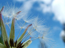 Make a Wish. Macor of dandeliol puff against blue sky stock image