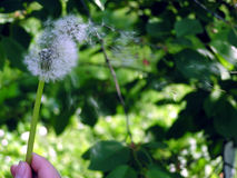 Make a wish. Dandelion flower royalty free stock images