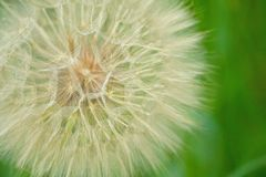Make a Wish. Seeds from a wild flower (Spider Wort) near the Wisconsin River Royalty Free Stock Images