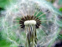 Make A Wish. Dandelion...amazingly enough this flower is considered a weed stock photos