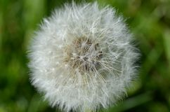 Dandelion Seed Pod in Macro Stock Photos