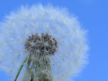 Make a wish - dandelion. White dandelion against a blue sky Royalty Free Stock Images