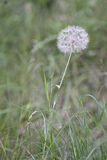 Make a wish. Dandilion weed in grassy field Royalty Free Stock Image