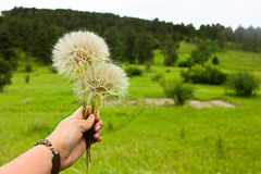 Make a Wish Flowers in a Meadow royalty free stock image
