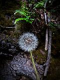 Make a wish and fly. Make a wish and help this dandelion to spread their spores. Lonely dandelion in the forest during the spring season, surrounded by ferns and royalty free stock photos