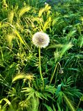 Make a wish! Nature, dream, dandelion and light royalty free stock images