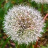 Make a wish. Spring dandelion closeup Royalty Free Stock Images
