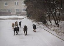 Makeevka, Ukraine - décembre, 24, 2014 : Paquet de chiens égarés dont Photos libres de droits