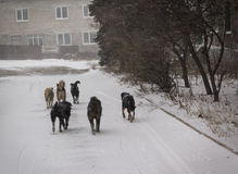 Makeevka, Ukraine - December, 24, 2014: Pack of stray dogs whose Royalty Free Stock Photos