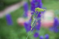 Makhaon caterpillar creeps on the stalk of dill Royalty Free Stock Image