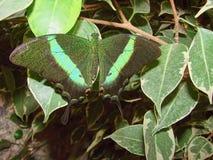 Makhaon verde hermoso Imagenes de archivo