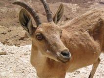 在Makhtesh拉蒙(火山口)的Nubian高地山羊 库存图片