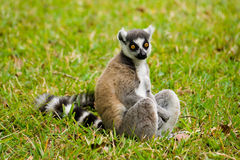 maki Мадагаскара lemur Стоковые Фото