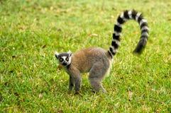 maki Мадагаскара lemur Стоковое Изображение RF