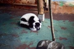 Maki bij de dierentuin stock afbeelding
