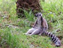 Maki catta, das im Gras sitzt Lizenzfreies Stockfoto