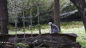 Maki catta isst Nahrung auf dem Baumstamm Affetierleben in Madagaskar stock video footage