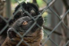Maki catta lemur in cage Royalty Free Stock Image