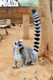 Maki-cattaaffe Zoo-Teneriffa-kanarisches Insel-Spanien Stockbilder