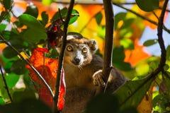 Maki, der durch Herbstlaub schaut Stockbilder