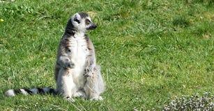 Maki, der im Gras sitzt Stockbild