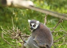 Maki in een boom Stock Fotografie