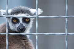 Maki in einem Käfig lizenzfreie stockfotografie