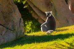 Maki för Madagascar ` s Arkivfoto
