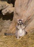 Maki grappig dierlijk zoogdier Madagascar royalty-vrije stock foto