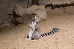 Maki grappig dierlijk zoogdier Madagascar stock afbeelding