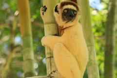 Maki i Madagascar Arkivbilder