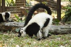 Maki i zoo Arkivfoto