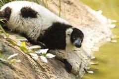Maki i zoo Fotografering för Bildbyråer