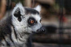 Maki im Zoo stockfoto