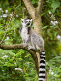 Maki kata, das auf Niederlassung in der buschigen Vegetation sitzt Stockfoto