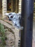 Maki kletterte auf einen hölzernen Pfosten Stockfotos