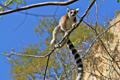 Maki/lemur de Ringtail Photos stock