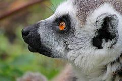 Maki, Lemur, Lemur Monkey Royalty Free Stock Photos